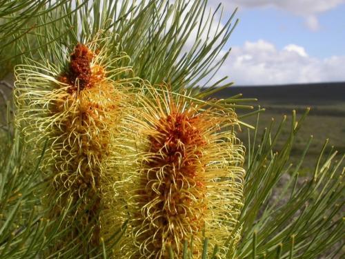 Silver Banksia plants excel at phosphate saving
