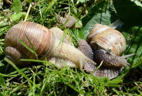 "Snails at the ""Snail Garden"" farm in Krasin, northern Poland, on May 29, 2013"