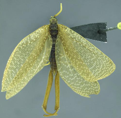 Spectacular forcepfly species discovered for the first time in South America