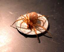 Spider's super-thin ribbons key to silk tech