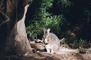 Startling genetic similarity in tammar wallabies