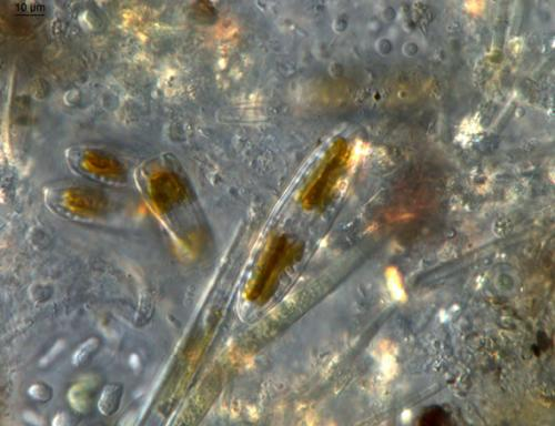 Student names three new algae species in the Everglades