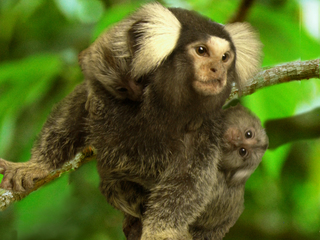 Study: Marmoset success with twin gestation