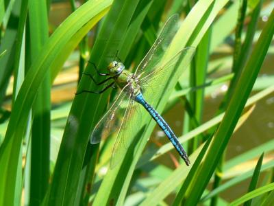 Study of dragonfly prey detection at MBL wins PNAS Cozzarelli Prize