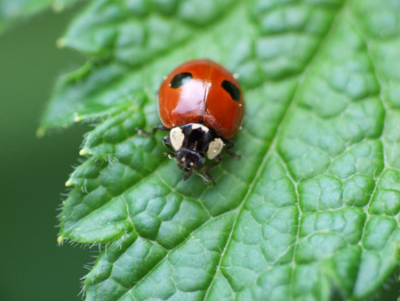 Study shows disease spread in ladybirds with sexually transmitted disease