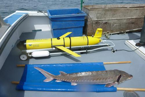 Sturgeon search: Scientists use satellites, underwater robot to study Atlantic sturgeon migrations
