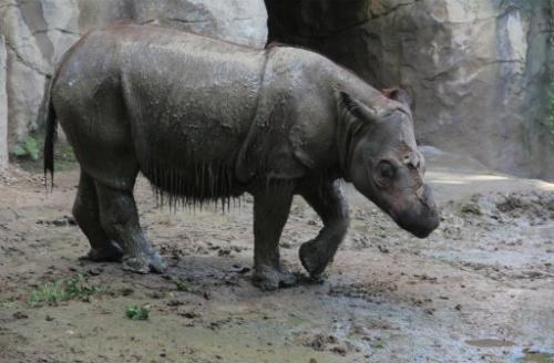 Suci, a female Sumatran rhino is shown at Cincinnati Zoo, July 23, 2013