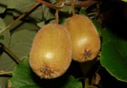 Surprises discovered in decoded kiwifruit genome