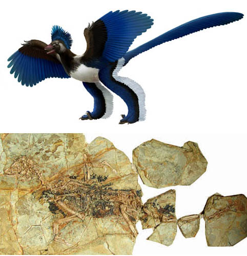 Systematic position of Archaeopteryx challenged?
