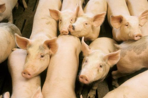 Taking aim at deadly swine diseases