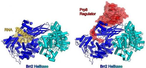 Team finds how a key enzyme of the spliceosome exerts its controlling function