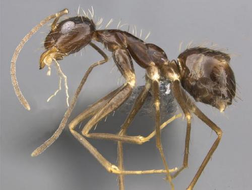 The most widespread ant and its new relative: A revision of the genus Paratrechina