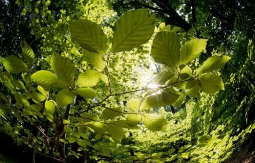 The sun shines through the canopy of leaves in a forest near Hanover, northern Germany, on July 2, 2013