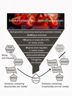 The unique taste of 'smoky' tomatoes is caused by one missing enzyme