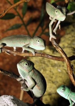 The vast majority of the 195 chameleon species today are found in Africa and Madagascar