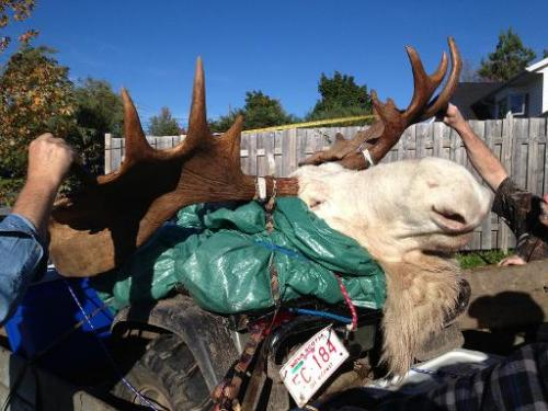 This October 4, 2013, image obtained from Hnatiuk's Hunting & Fishing Ltd., in Lantz, Canada shows a white moose killed by h