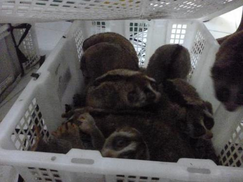 This photo, received from International Animal Rescue Indonesia on November 15, 2013, shows slow lorises sitting in a plastic cr