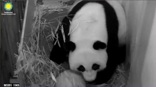 This still image from the PandaCam at the Smithsonian National Zoo in Washington, DC, shows Giant Panda Mei Xiang