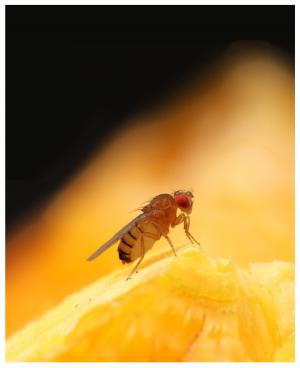 Those fruit flies are pickier than you think