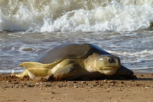 Threatened flatback sea turtle (Natator depressus) returning to nest in the Pilbara