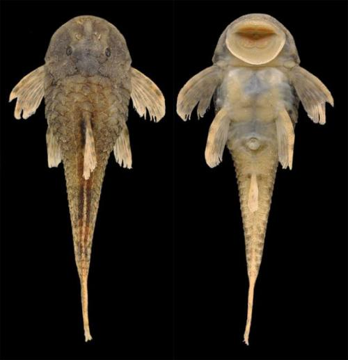 Tiny new catfish species found in Rio Paraíba do Sul basin, Brazil