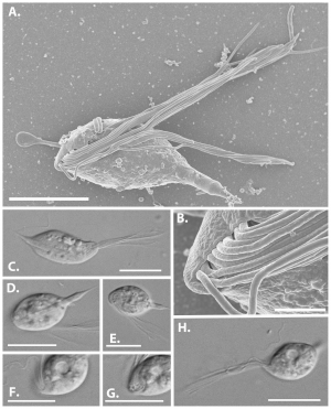Tiny octopus-like microorganisms named after science fiction monsters: UBC research