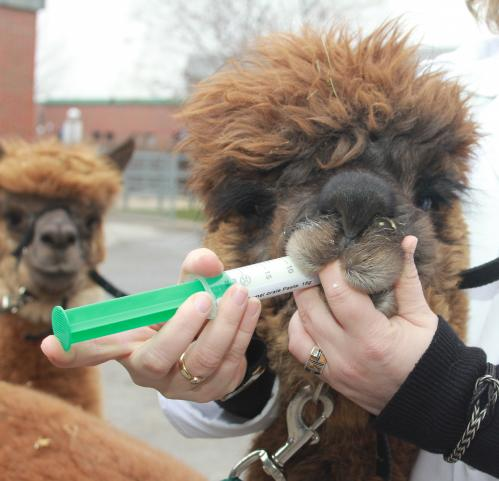 To swallow or to spit? New medicines for llamas and alpacas