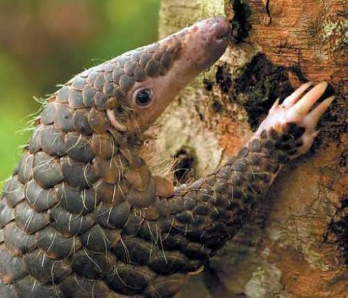 Trade in pangolins is banned by the Convention on International Trade in Endangered Species (CITES)