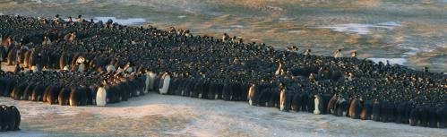 Traffic jams lend insight into emperor penguin huddle