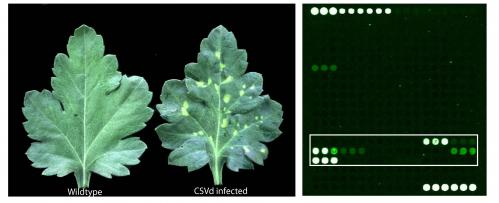Universal microarray platform for screening plant pathogen infection