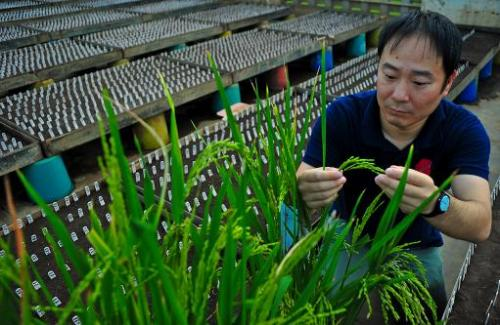 Tsutomu Ishimaru inspects a rice plant with the SPIKE gene, in a picture taken on November 29, 2013
