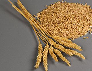Двойной генетический удар по опасной болезни пшеницы