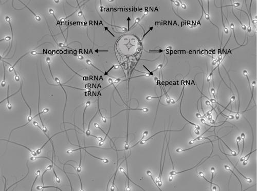 Uncovering the role of sperm RNA in early post-fertilization development