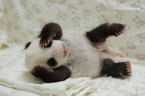 Undated photo provided by the Taipei City Zoo on August 11, 2013 shows a new-born panda cub at the zoo