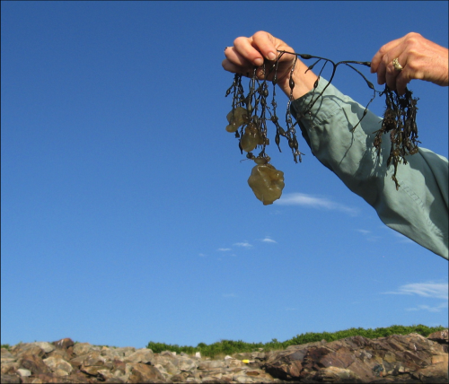 UNH scientists document first expansion of 'sea potato' seaweed into New England