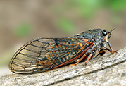 University develops app to help search for the rare New Forest cicada