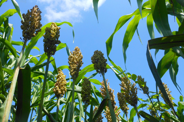Unlocking sorghum's gene bank: Adapting agriculture to a changing climate