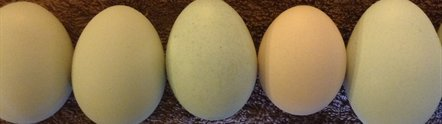 Unscrambling the genetics of the chicken's 'blue' egg
