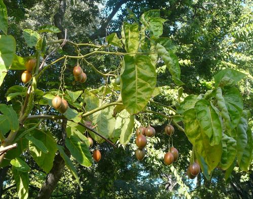 A promising fruit: The tree tomato