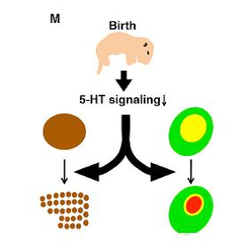 Cerebral sensory development: genetic programming versus environmental stimuli