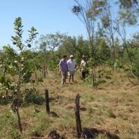 Vitamin C-rich native fruit ripe for cash crop study