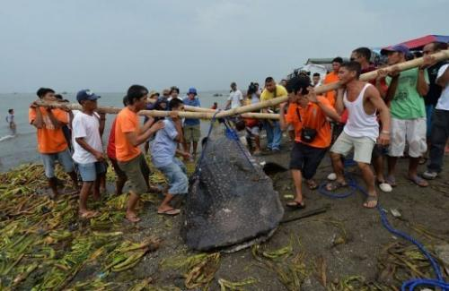 Volunteers attempt to move the carcass of a 300 kgs juvenile whale shark west of Manila, September 5, 2013