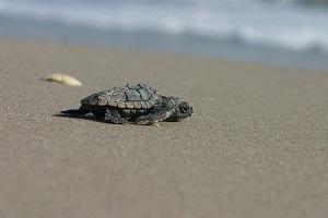 Warmer beaches influence sex ratios of loggerhead hatchlings