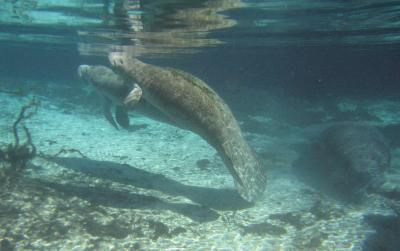 Warm springs may be best winter refuge for Florida manatees