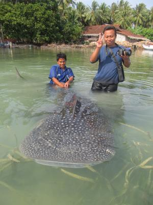 WCS helps release juvenile whale shark from net in Indonesian marine park