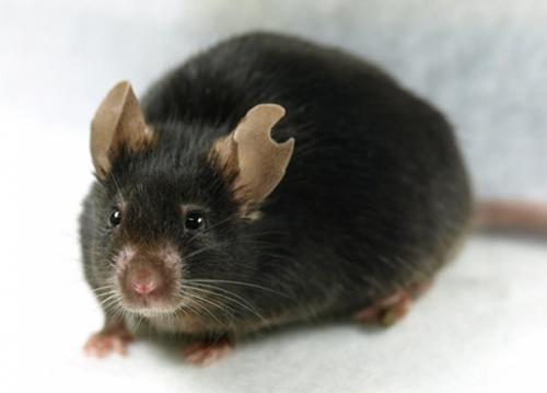 When cloning mice, a little drop of blood'll do ya