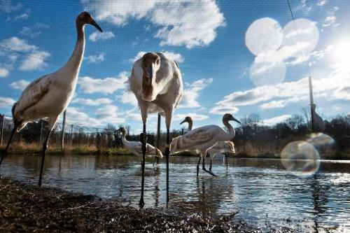 Whooping cranes, raised in captivity before being transferred to Louisiana, are seen at the US Geological Survey's Patuxent Wild
