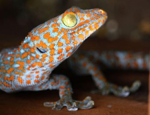 Wild populations of Southeast Asia's striking Tokay Gecko are in danger of being over-hunted for use in Chinese medicine