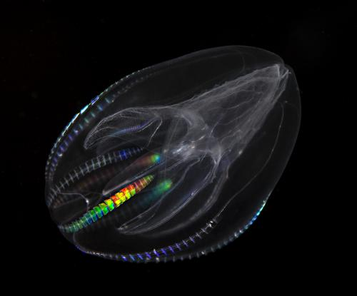 With new study, aquatic comb jelly floats into new evolutionary position
