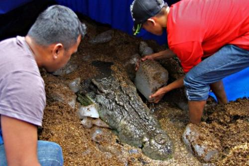Workers put ice blocks around the remains of the saltwater crocodile